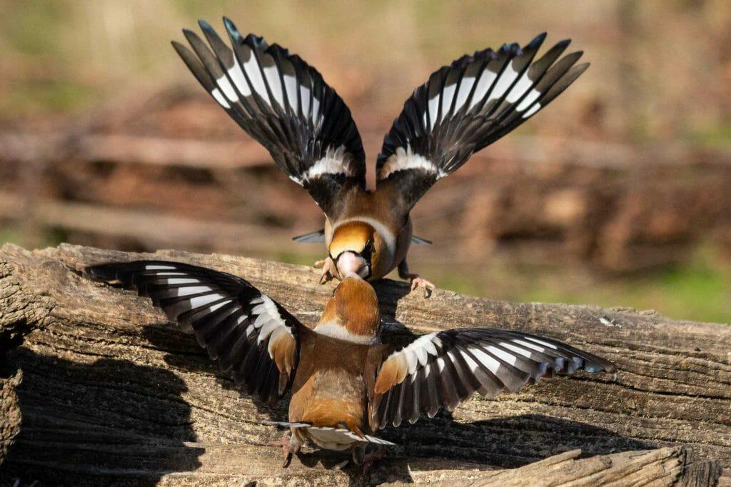 Hawfinch-Frosone