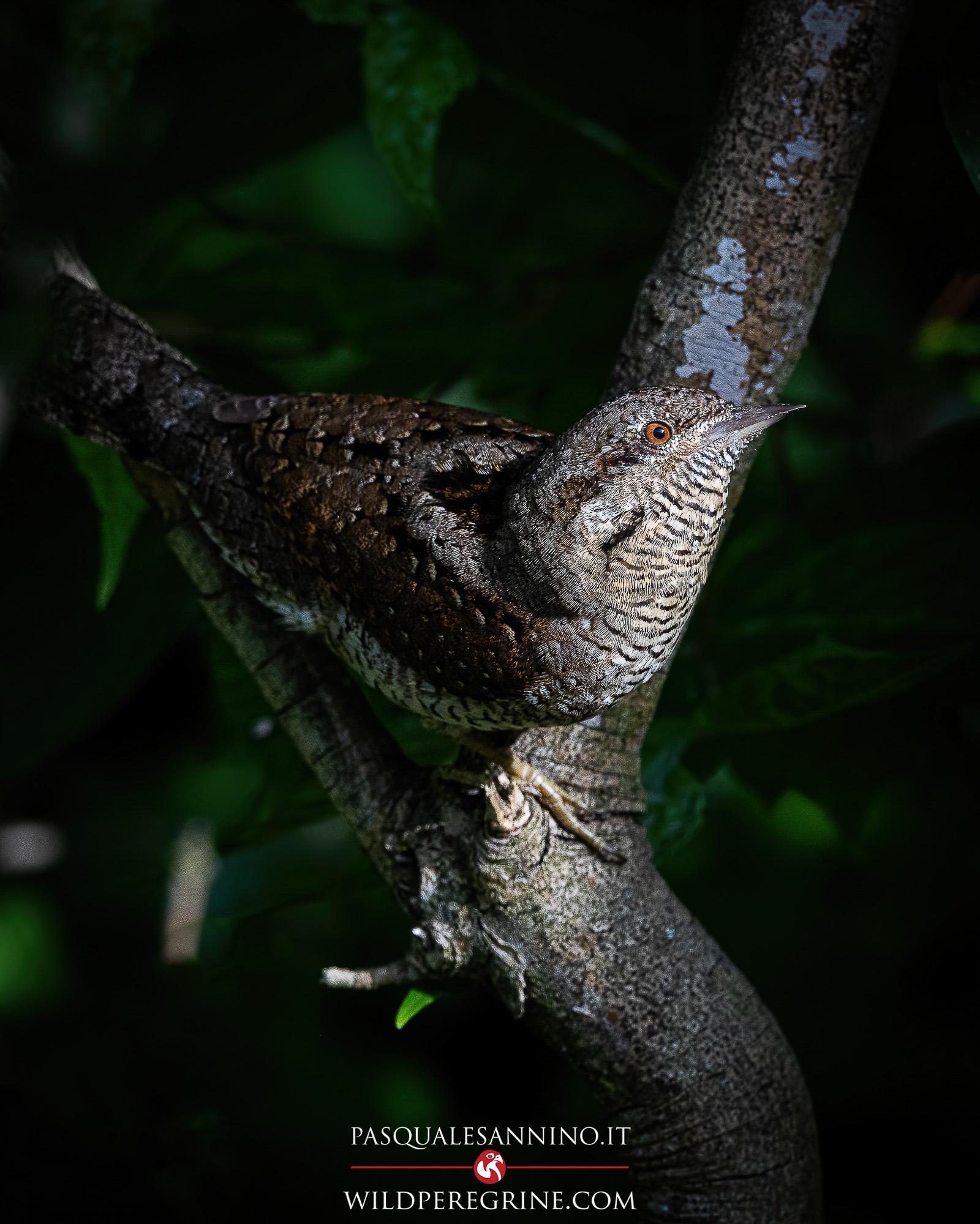 Eurasian wryneck – Jynx torquilla