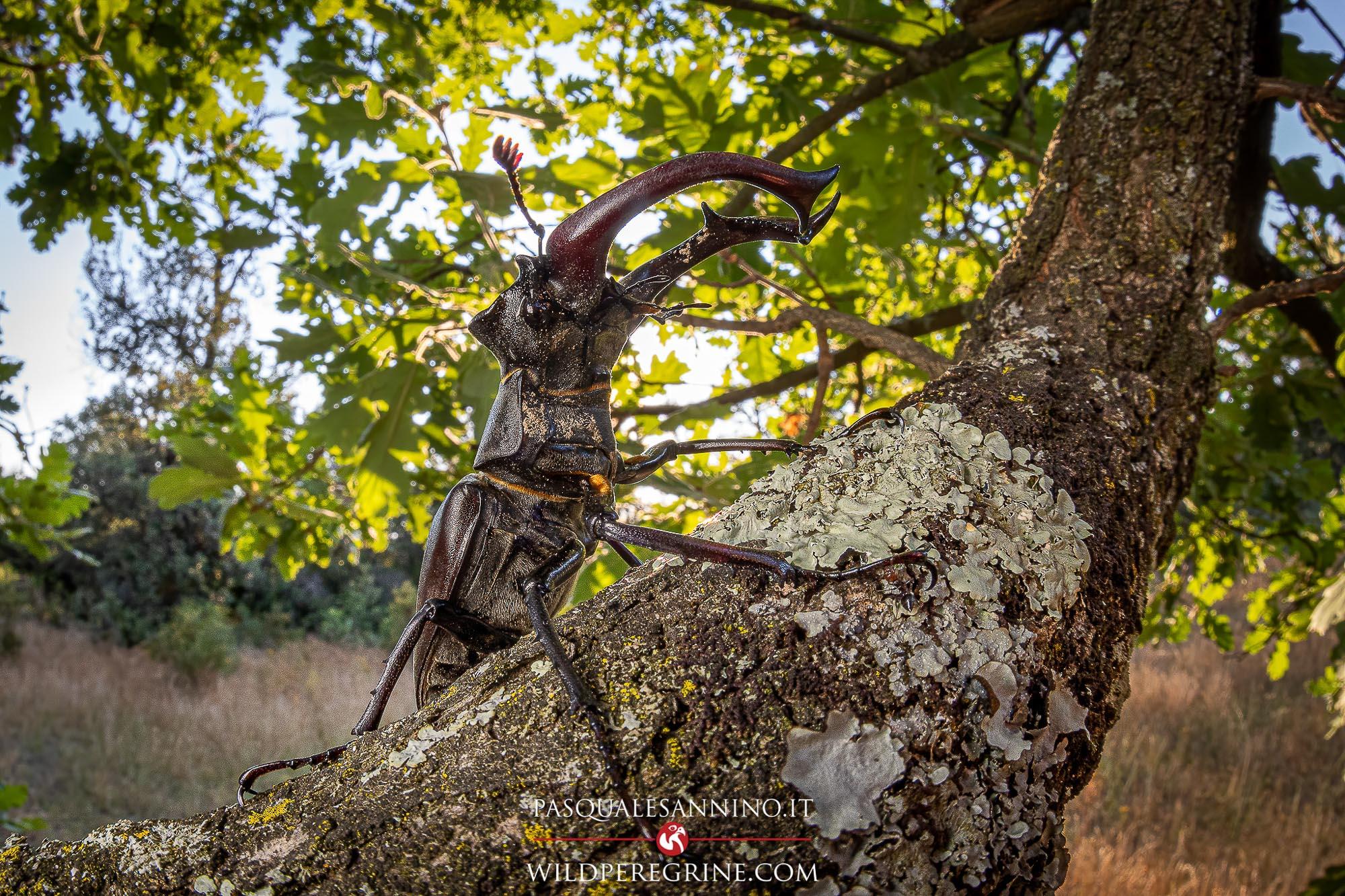 European stag beetle – Lucanus cervus